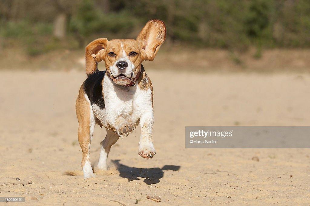 A Beagle running on 2 legs! : Stock Photo