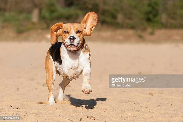 A Beagle running on 2 legs!