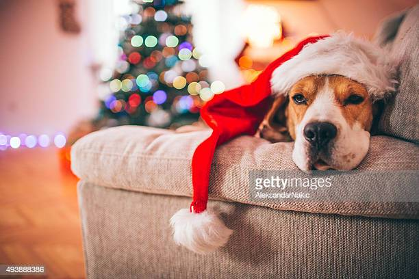 beagle santa - christmas dog stock pictures, royalty-free photos & images