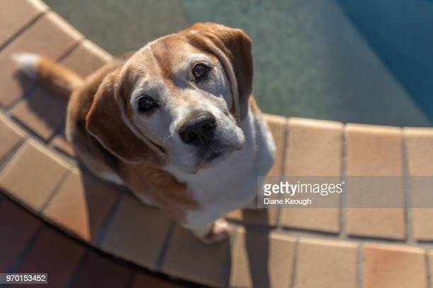beagle sitting on paved edge of a pool. shot taken from above so he is looking up into the camera and it positioned to the left side of the frame - ビーグル ストックフォトと画像
