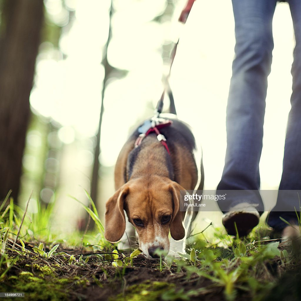 Beagle Sniffing and Hunting in Forest Park : Stock Photo