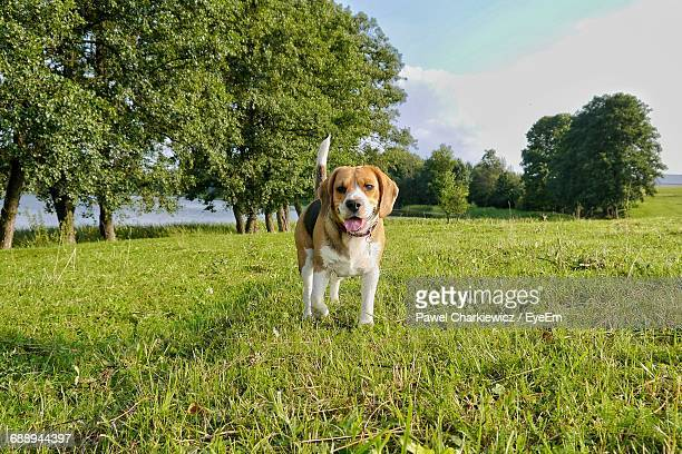 Beagle Standing On Grassy Field Against Sky