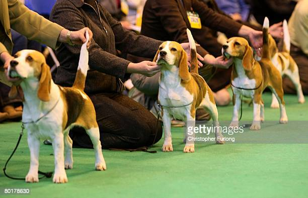 Beagles and their owners line up for the judges on the last day of Crufts 2008 at the National Exhibition Centre on March 9 in Birmingham, England....