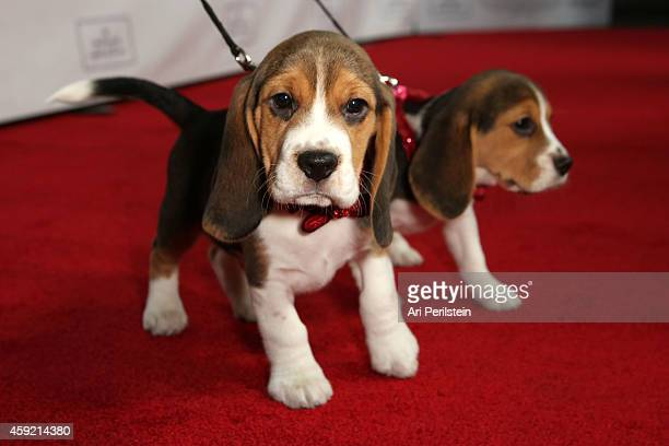 Beagles arrive at Hallmark Hall of Fame's 'One Christmas Eve' Premiere Event at Fig Olive Melrose Place on November 18 2014 in West Hollywood...