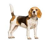 Beagles dog standing against white background