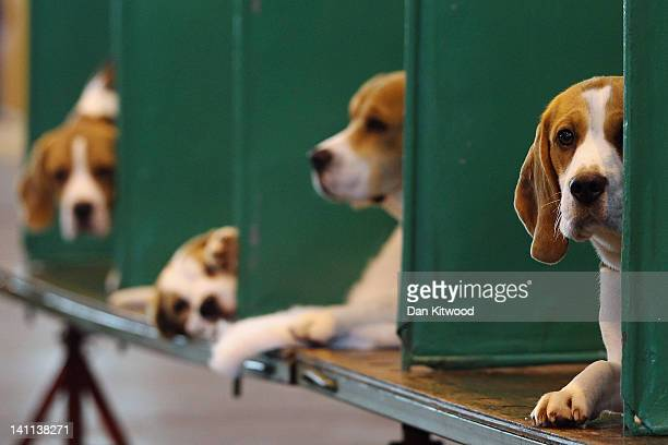 Beagles sit in their kennels on the fourth and final day of Crufts at the Birmingham NEC Arena on March 11 2012 in Birmingham England During the...