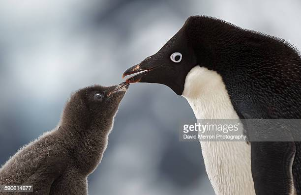 beak to beak - adelie penguin stock pictures, royalty-free photos & images