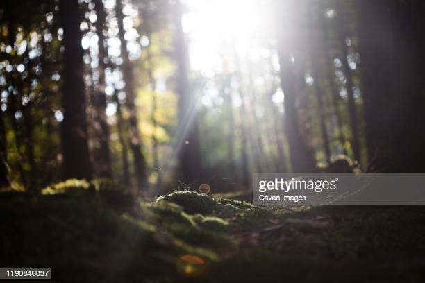 beam of light coming through the trees of the thuringian forest - wald stock-fotos und bilder