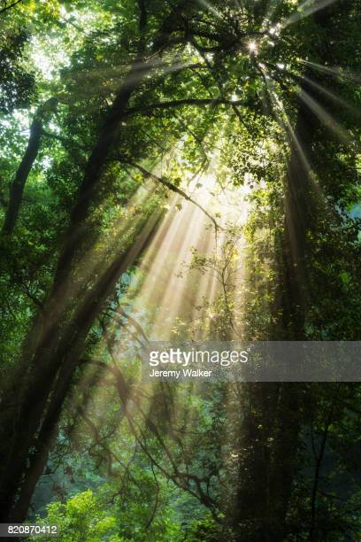 Beams of golden light through a forest canopy.