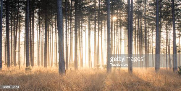 Beams of sun light viewed through pine forest