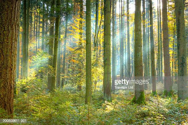 beams of sunlight in pine forest (pinus sp.), autumn - forest stock pictures, royalty-free photos & images