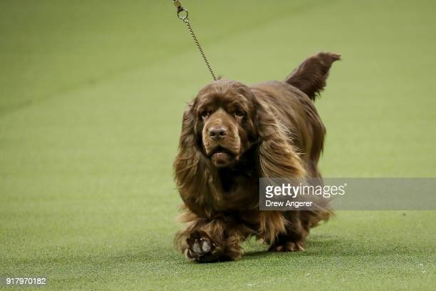 Bean a Sussex Spaniel and winner of the sporting group competes in during the final night of the 142nd Westminster Kennel Club Dog Show at The Piers...