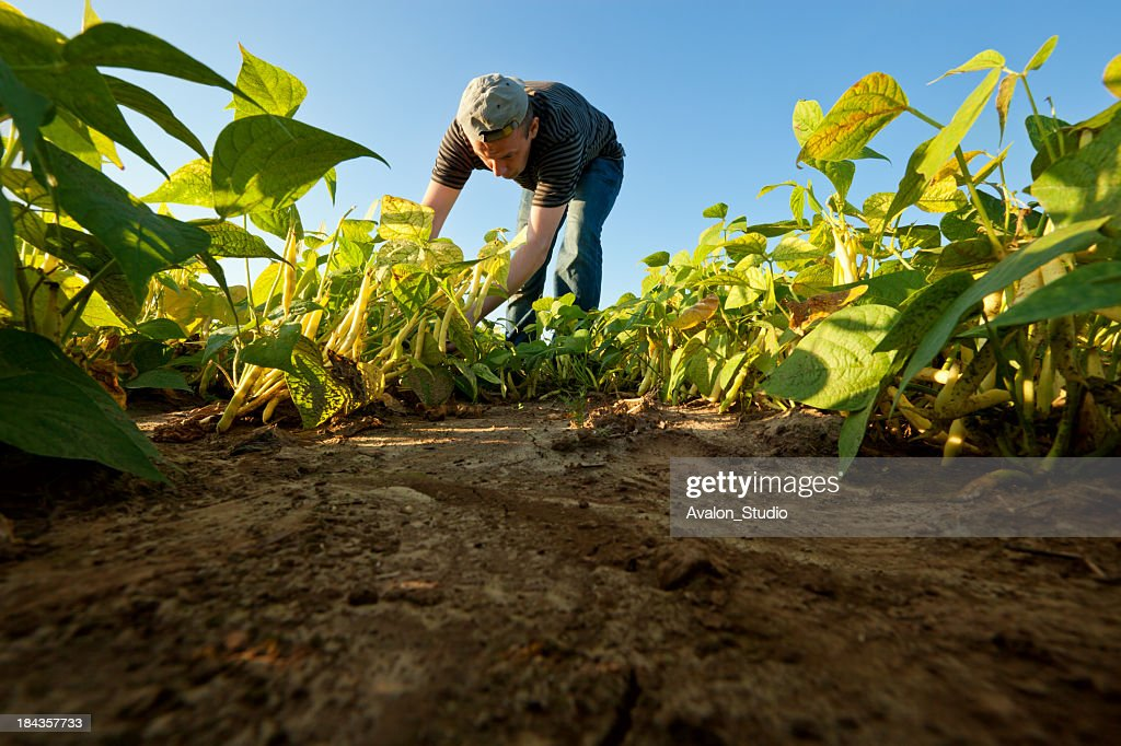 Bean harvest : Stock Photo