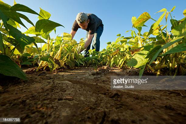 bean harvest - plantation stock pictures, royalty-free photos & images