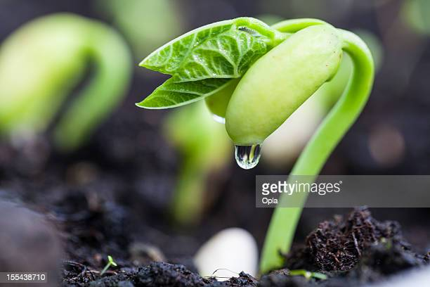 bean sprout on an organic farm - appearance stock photos and pictures