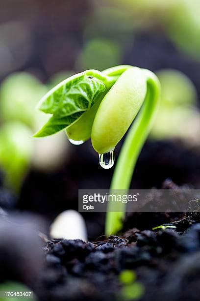 Bean sprout on an organic farm