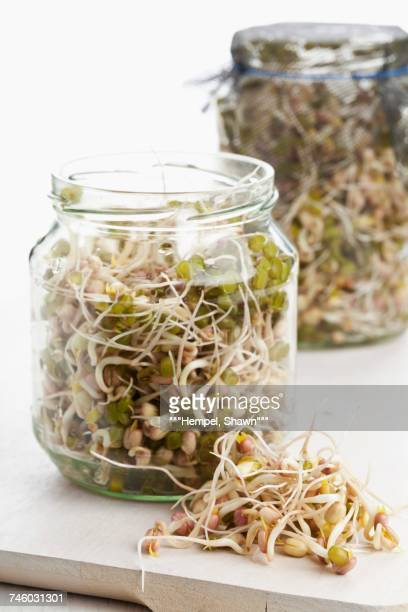 Bean sprouts in sprouting jars