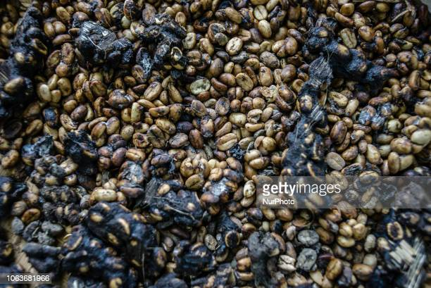 Beans collected from the excrement of civets at Kopi luwak farm and plantation with a civet in a cage on the background in Ubud District Bali...