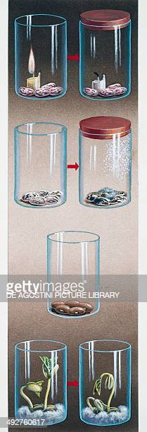 Beans germination in a glass jar illustration