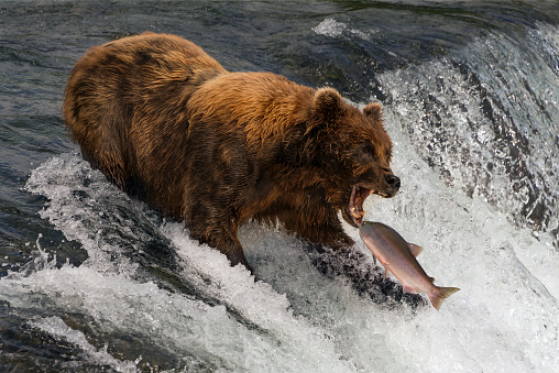 Bear about to catch salmon in mouth 892797806