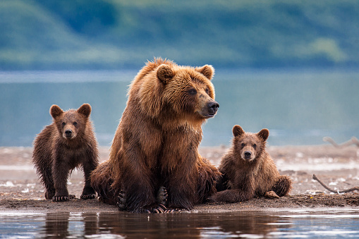 A bear and her cubs at a river in Russia. - gettyimageskorea