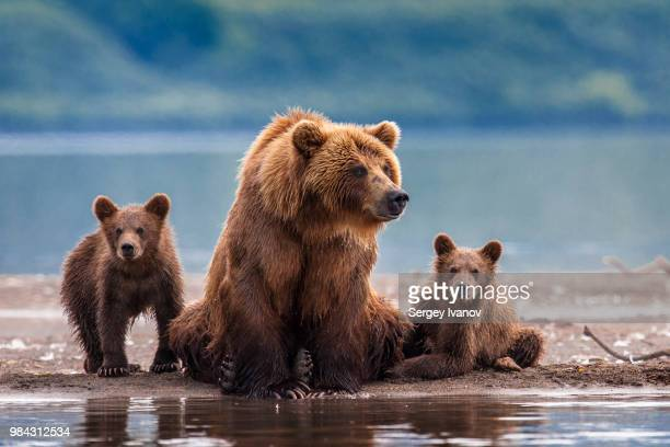 a bear and her cubs at a river in russia. - russia stock pictures, royalty-free photos & images