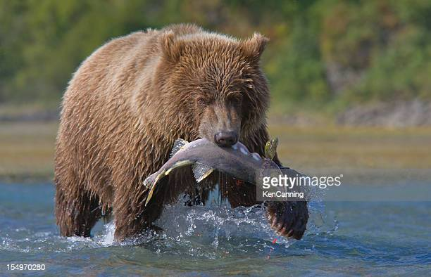 bear and salmon - blue bear stock photos and pictures