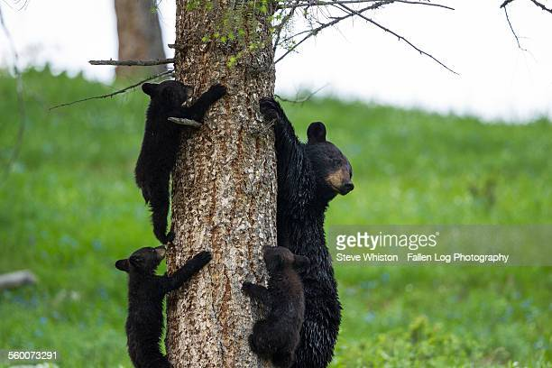 Bear and three cubs in a tree