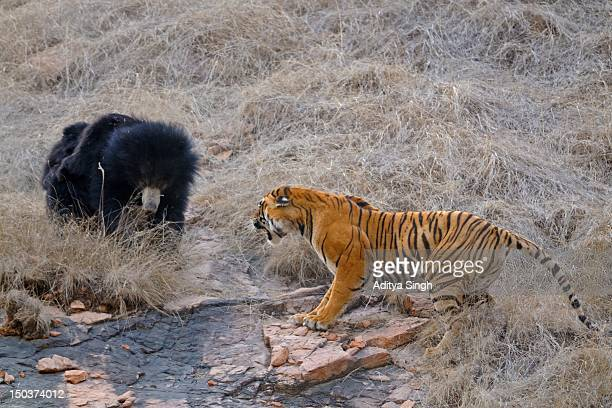 Bear and tiger fight