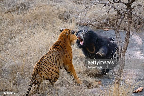 Bear and Tiger fighting in wild