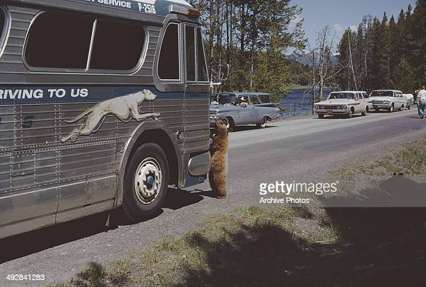 A bear approaches a Greyhound bus in Yellowstone National Park Wyoming USA circa 1965
