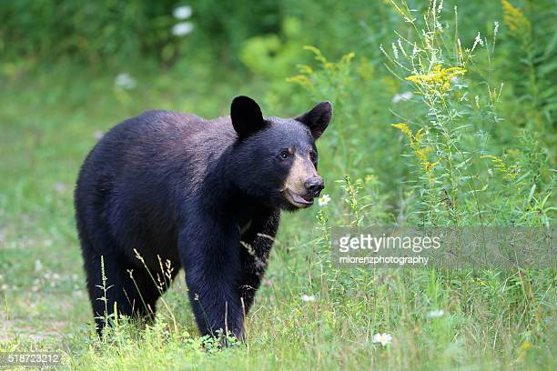 bear aware - black bear stock pictures, royalty-free photos & images