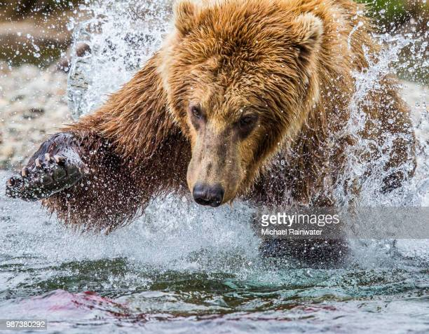 A bear catching a fish in Alaska, North America.