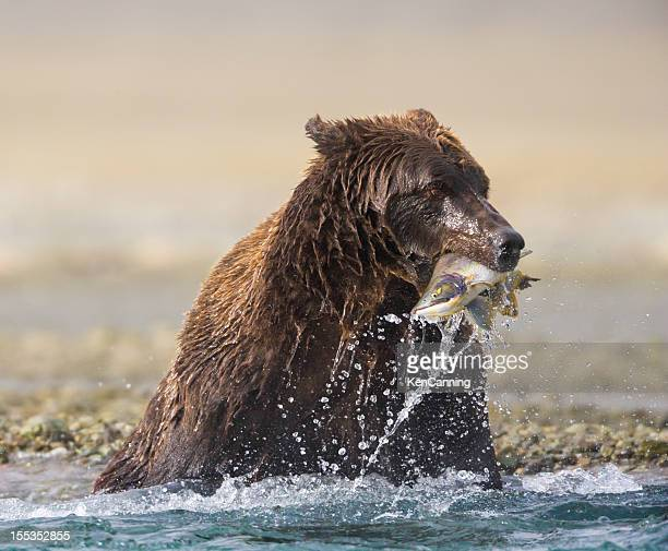 bear catching salmon - blue bear stock photos and pictures