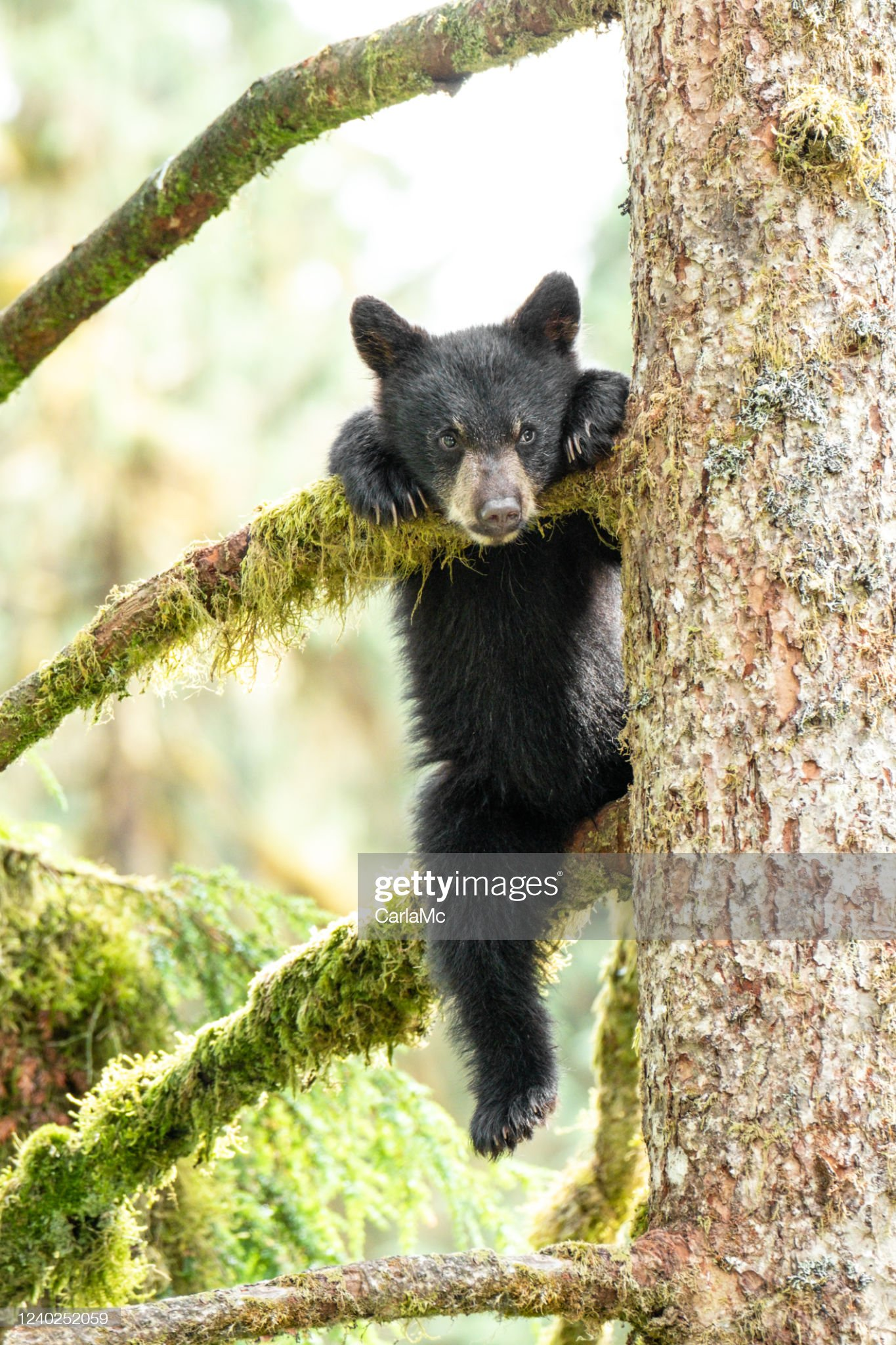 阿拉斯加樹上的熊幼崽 : 圖庫照片