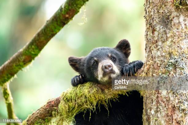 bear cub in a tree - bear cub stock pictures, royalty-free photos & images