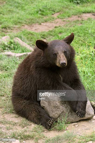 Bear Cub Sitting, Vertical