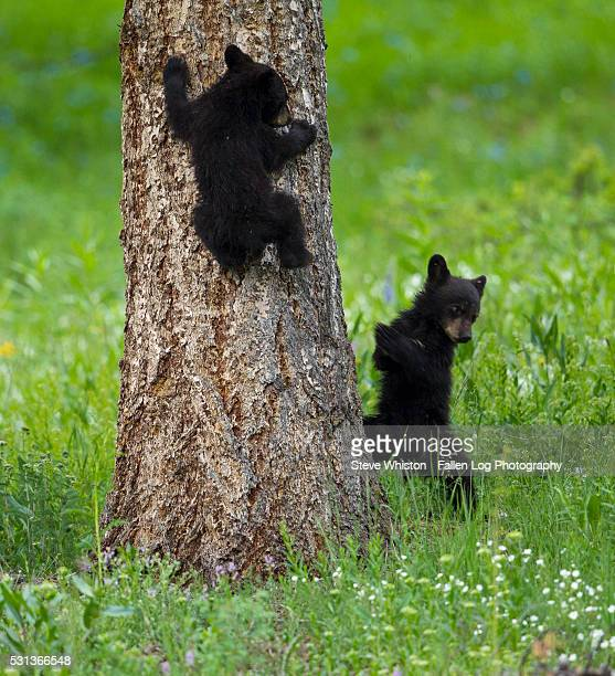 Bear Cubs in Yellowstone