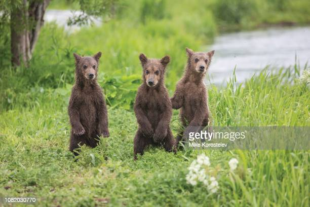bear cubs - large breasts stock pictures, royalty-free photos & images