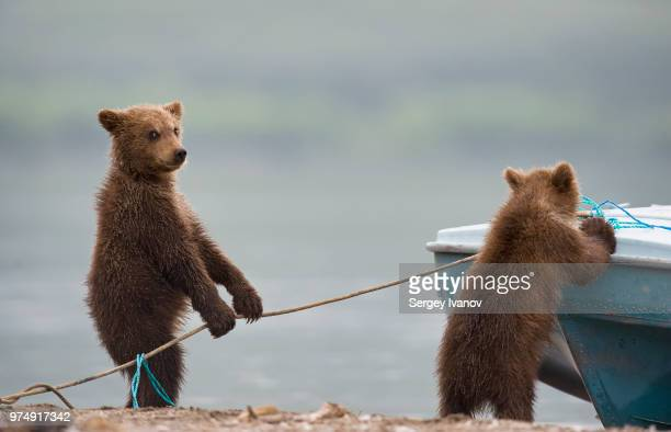 bear cubs playing by lake - bear cub stock pictures, royalty-free photos & images