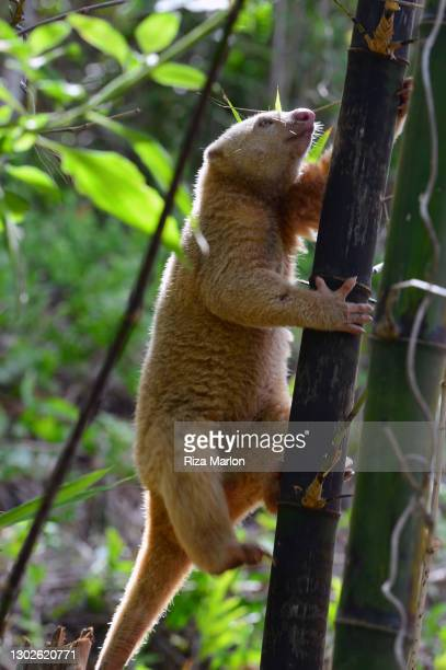 bear cuscus - sulawesi stock pictures, royalty-free photos & images