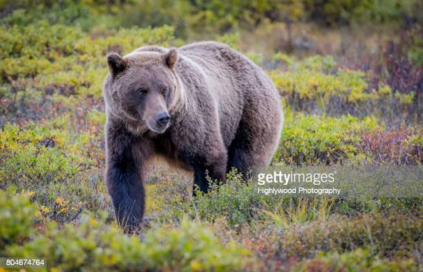 bear cuteness - grizzly bear stock photos and pictures
