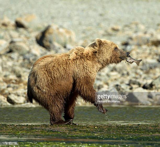 bear dancing with delight at catching fish - dancing bear photos et images de collection