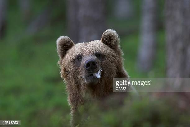 Bear eating some fish