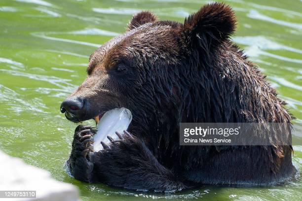 Bear eats ice in pool to cool off from summer heat waves at Tianjin Zoo on June 15, 2020 in Tianjin, China.