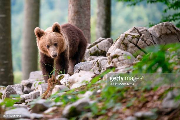 Bear explores the forest above the small village of Markovec, Slovenia, on June 27, 2018. - Once on the verge of extinction, Slovenia's brown bear...
