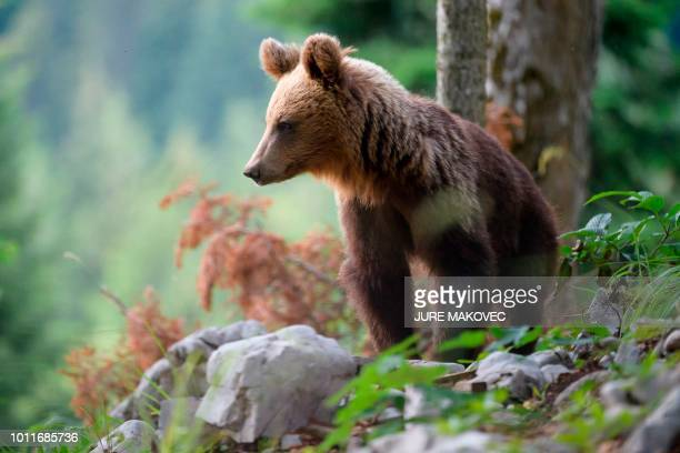 A bear explores the forest above the small village of Markovec Slovenia on June 27 2018 Once on the verge of extinction Slovenia's brown bear...