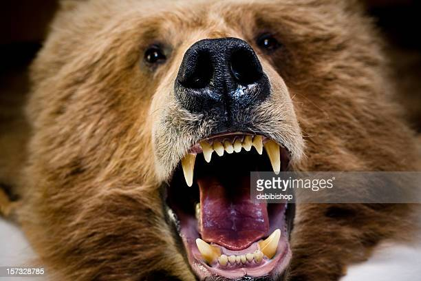 bear face and teeth - bad teeth stock photos and pictures