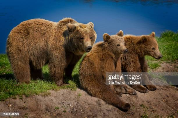 bear family on lakeshore - carnivora stock photos and pictures