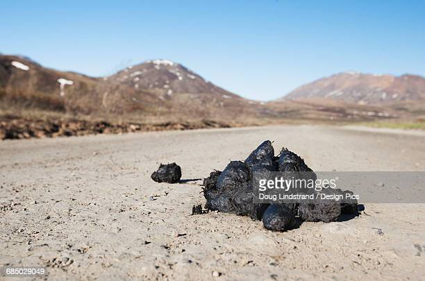 bear feces on park road in denali national park in summertime, interior alaska - bear tracks stock photos and pictures